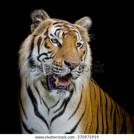 close up face tiger isolated on black background