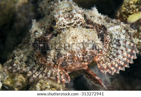 CLOSE-UP FACE VIEW OF SCORPIONFISH WAITING ON CORAL REEF