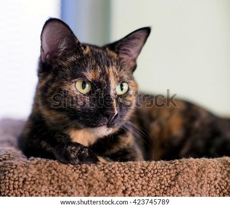 Tortoiseshell Cat Stoc...