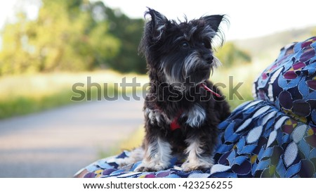 Close up Facial portrait of small Adorable Yorkshire Terrier Toy Breed Dog Laying on Owners Lap - stock photo