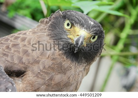 Close-up Falcon Peregrine and soft-focus blurred background - stock photo