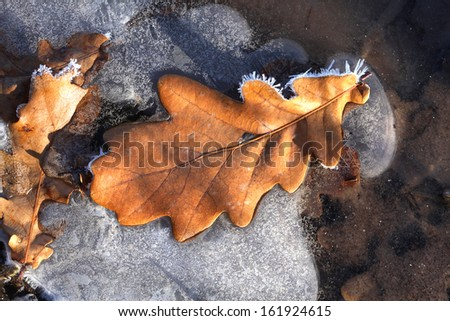 close-up fallen oak leaves covered with frost in the early morning sunlight - stock photo