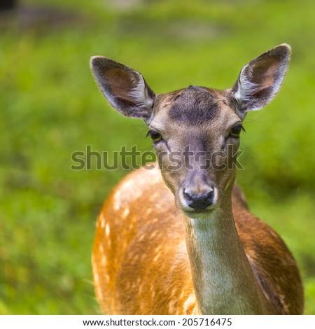 Close-up fallow deer in wild nature  - stock photo