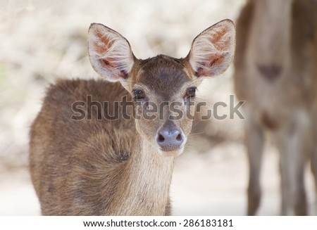 Close up fawn (young deer) in farm - stock photo