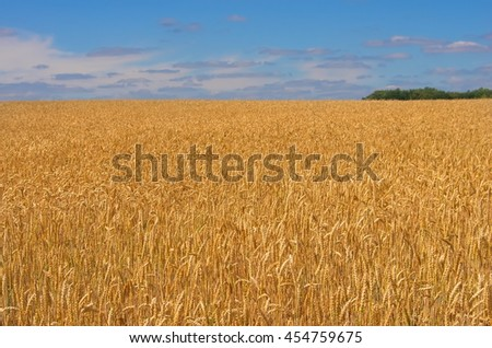 Close-up field of yellow wheat. Idea of a rich harvest. Golden wheat ears on field under blue sky and clouds. Backdrop of ripening ears of yellow wheat field. Forest on the horizon