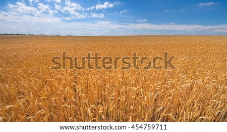 Close-up field of yellow wheat. Idea of a rich harvest. Golden wheat ears on field under blue sky and clouds. Backdrop of ripening ears of yellow wheat field.
