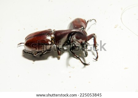 Close up fighting beetle or Siamese rhinoceros on small log