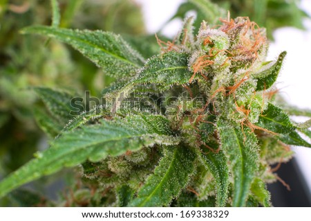 Close-up Flower Bud Marijuana Plant  crystals - stock photo