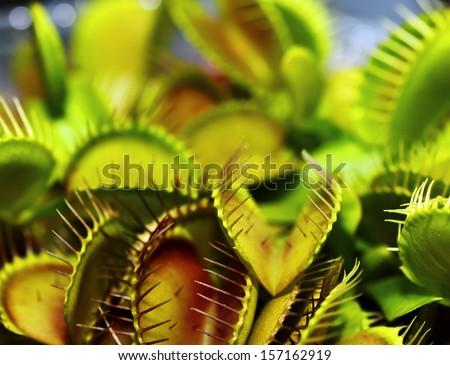 Close up Flytrap - Dionaea muscipula - stock photo