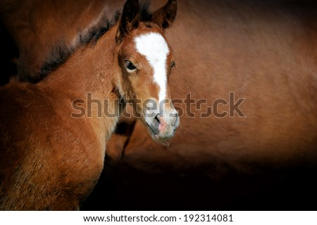 Close-up foal on a background of brown leather horse