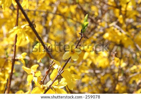 Close-up Forsythia flowers in spring shot with shallow dof focusing on flower. - stock photo
