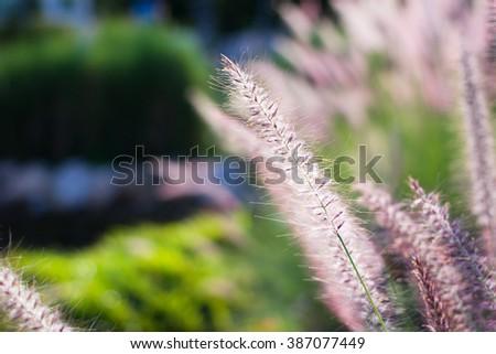 Close-up fountain grass - stock photo