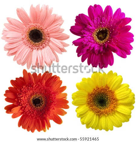 Close up four different gerbers on white background - stock photo