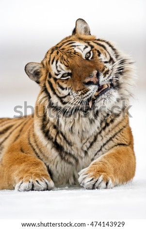 Close up frame of Amur tiger while roaring. Amur tiger is roaring with showing his teeths.  His canines teeths can seen clearly. Amur tiger has stripes and a shade of orange in color.