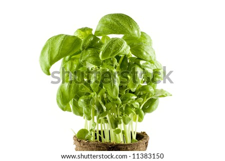 Close-up fresh basil plant isolated on white background - stock photo