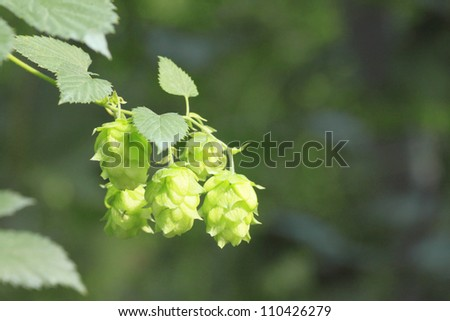 Close  up  Fresh Green  hops   in summer