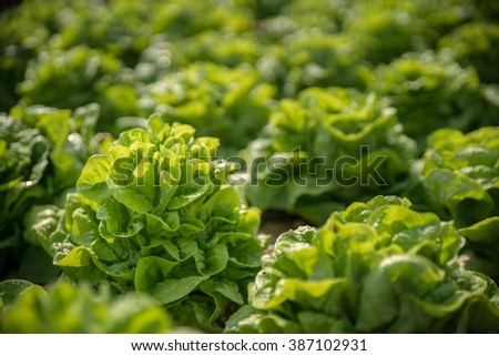 Close up fresh lettuce in the garden - stock photo