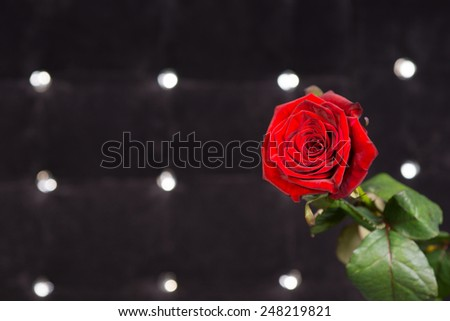 Close up Fresh Red Rose Flower in Front Sparkling Black Background - stock photo