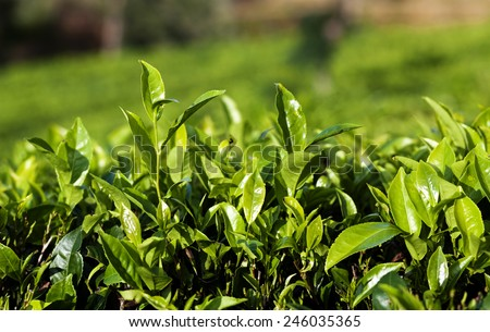Close up fresh tea leaves in morning sunlight - stock photo