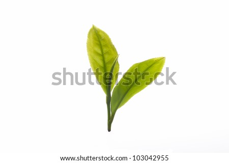Close up fresh tea leaves on white background - stock photo