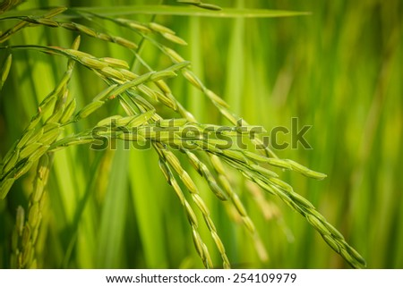 Close up fresh young ear of rice with green leaves background. - stock photo