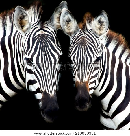 close-up from a zebra surrounded with black and white stripes - stock photo