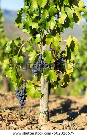 Close-up from Grenache grape. The Comarca Priorat is a famous wine-growing area where the prestigious wine of the Priorat and Montsant is produced. Wine has been cultivated here since the 12th century