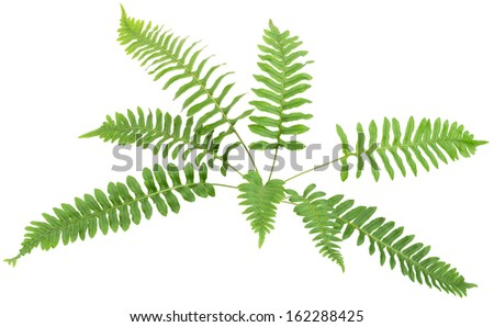 Close up frond leaf fern isolated on white background in macro lens shooting - stock photo