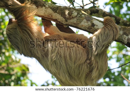 close up full frame of three toe sloth adult mother with baby, cahuita, caribbean side, costa rica, central america. unusual exotic mammal with infant in lush tropical jungle - stock photo