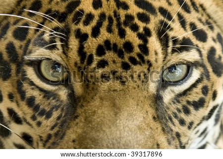 close up full frame penetrating eyes of a central american jaguar or panthera onca, pantanal, brazil, south america , beautiful exotic big cat or feline similar to leopard - stock photo