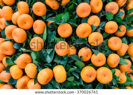 Close-up, full frame view of virbrant ripe Kumquats fruits on tree decorations for Chinese New Year. Kumquat (or cumquat, golden tangerine) is symbol of Lunar New Year. Nature background. - stock photo