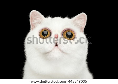 Close-up Funny Portrait of surprised Pure White Exotic Cat Head on Isolated Black Background, Front view, Curious fascinated Looking up, Huge Eyes - stock photo