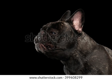 Close-up Funny sneezes French Bulldog Dog in Profile view Isolated on black background - stock photo
