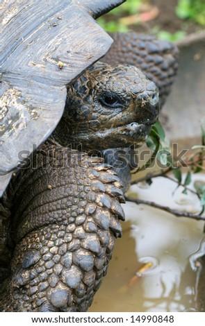 Close up Giant Galapagos Tortoise - Head Shot; on Santa Cruz Island - stock photo