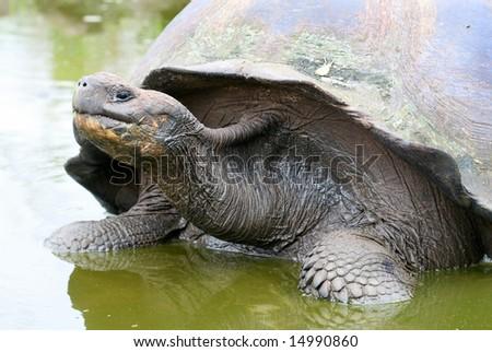Close up Giant Galapagos Tortoise on Santa Cruz Island - stock photo