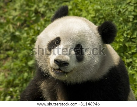 close-up  Giant panda in national park photo - stock photo