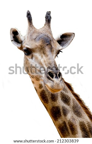close up giraffe - stock photo