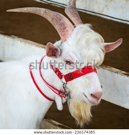 Close-up Goat, goat a breeder. - stock photo