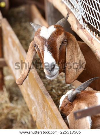 Close up goat in farm from central of Thailand - stock photo
