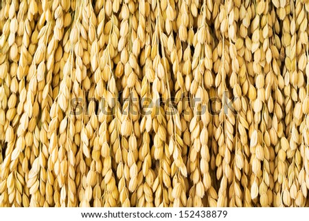 Close up golden color japanese rice paddy texture