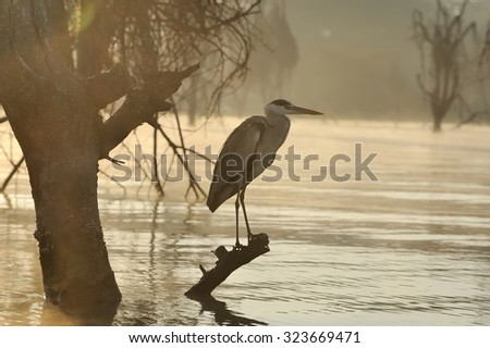 Close-up gray heron on branch in river sunset coast - stock photo