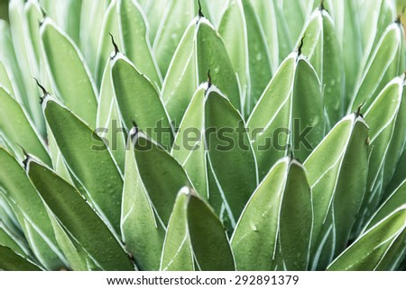 Close up green agave, succulent, bromeliad and cactus leaves in raining day in Sydney Botanic garden. - stock photo