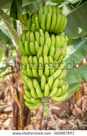 close up green banana bunch in tree