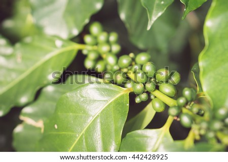 Close up Green coffee beans, Green coffee beans growing on the branch.Background texture.  - stock photo