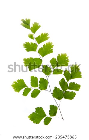 Close up Green Fern isolated on white background - stock photo