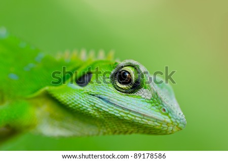 Close-up green gecko lizard