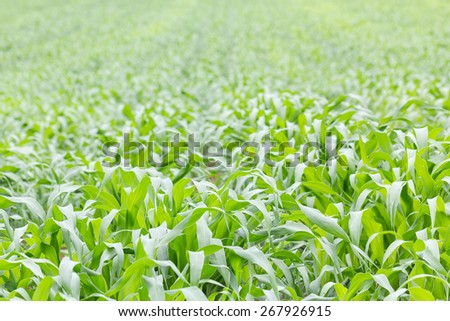 Close up Green grass field in nature - stock photo