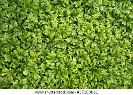 Close up green grass / green moss background - stock photo