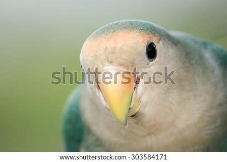 Close up green parrot. - stock photo