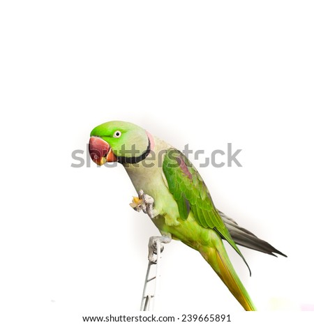 Close-up green parrot over white background - stock photo